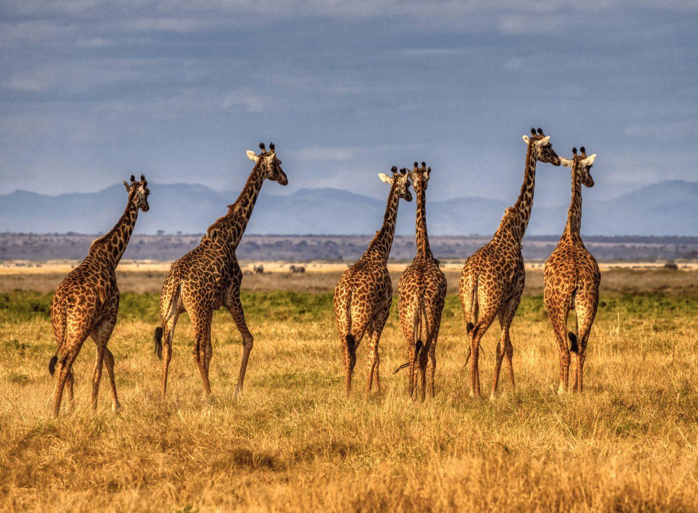 Giraffen auf Safari in Afrika beobachten