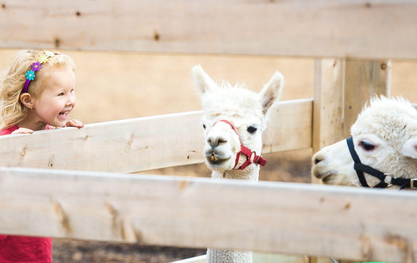 Kleines Mädchen steht am Stall von Alpakas