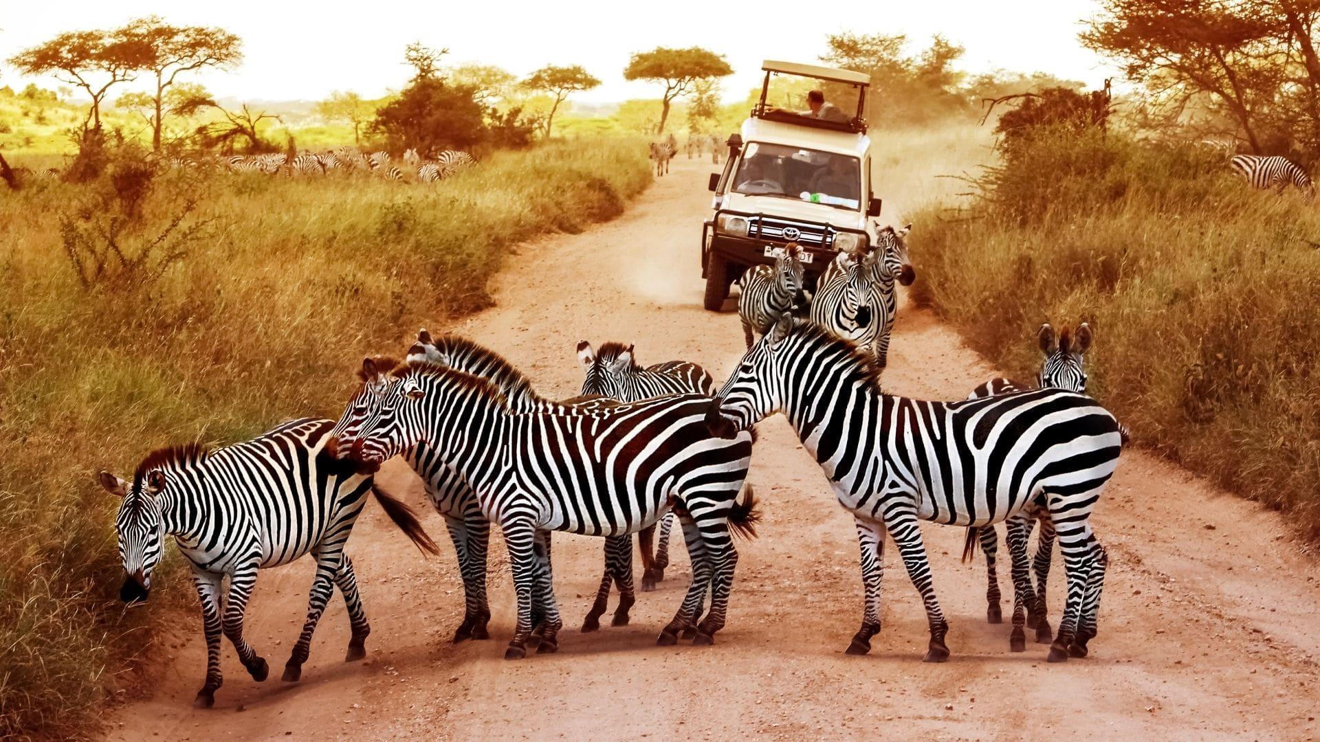 Zebras auf Safari erleben