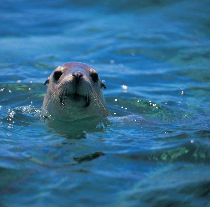 Seelöwe im Wasser