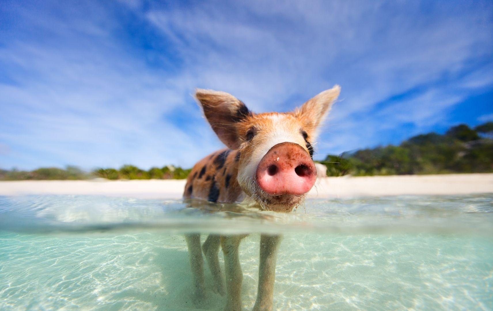 Schwimmendes Schwein im Meer, Bahamas