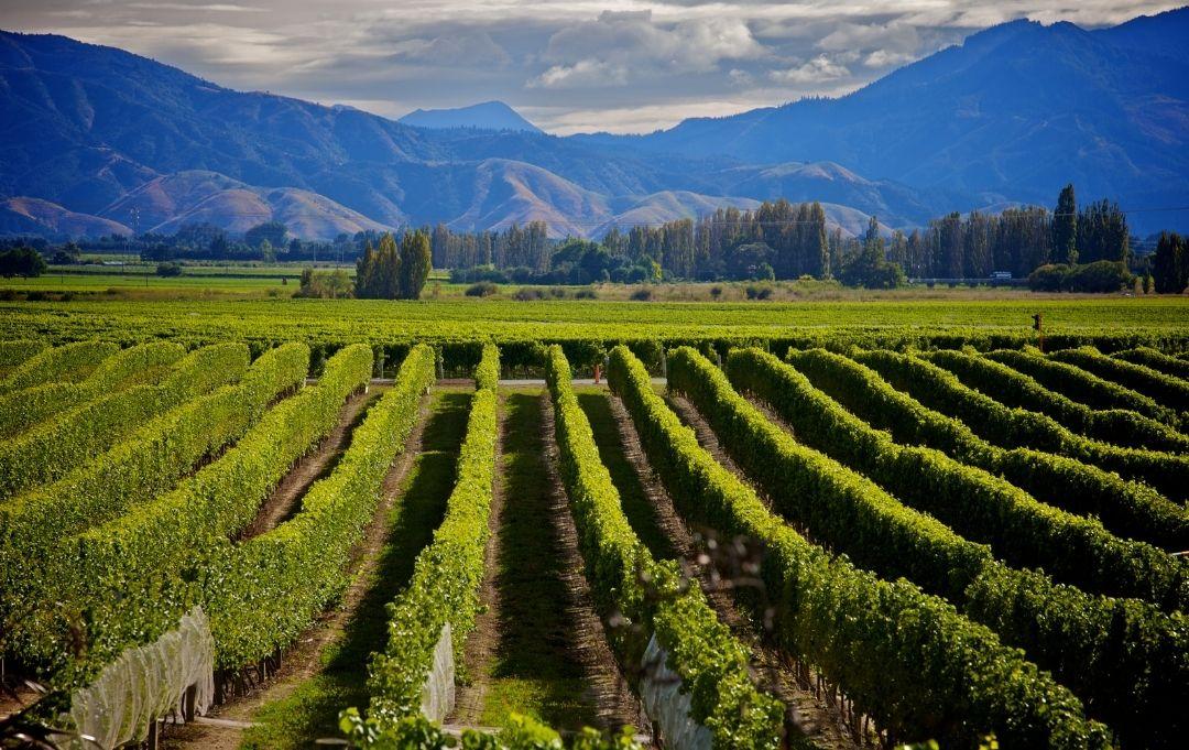 Fernreise Australien - Neuseeland Marlborough Weinreben