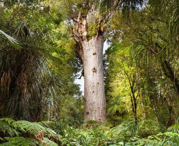 Fernreise Australien - Neuseeland Tane Mahuta