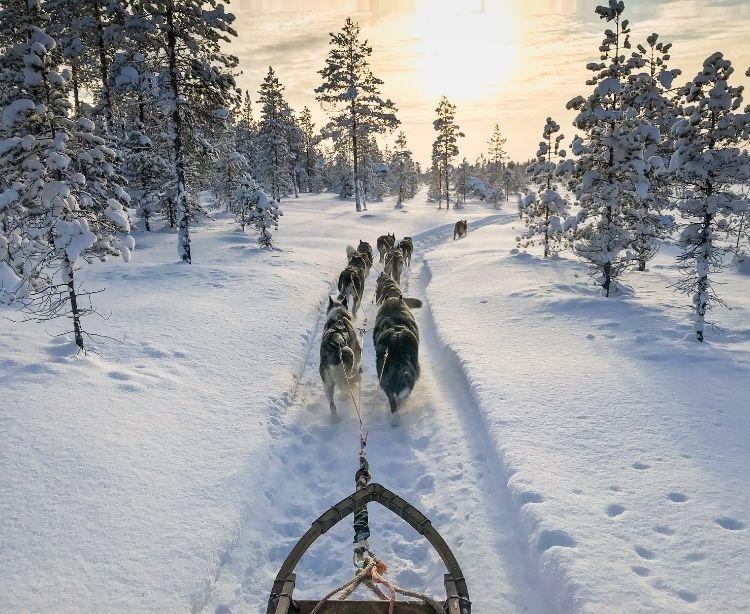 Lappland - Schlittenhunde
