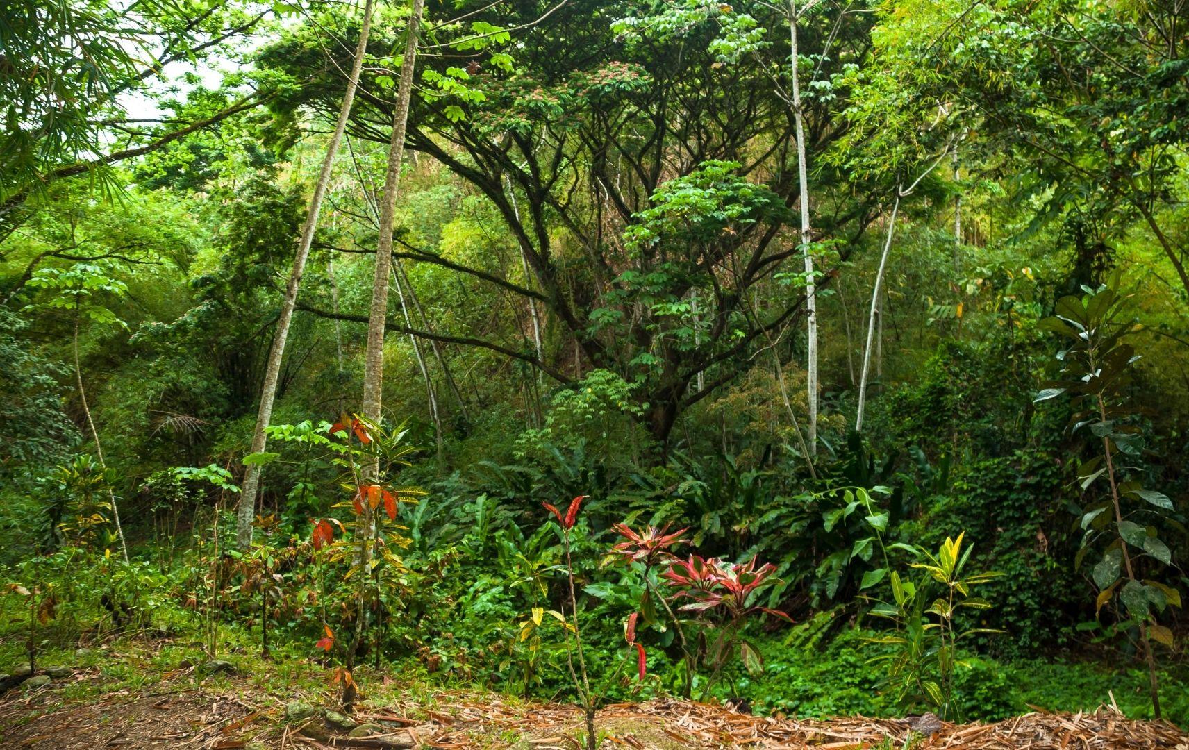 Regenwald, Tobago