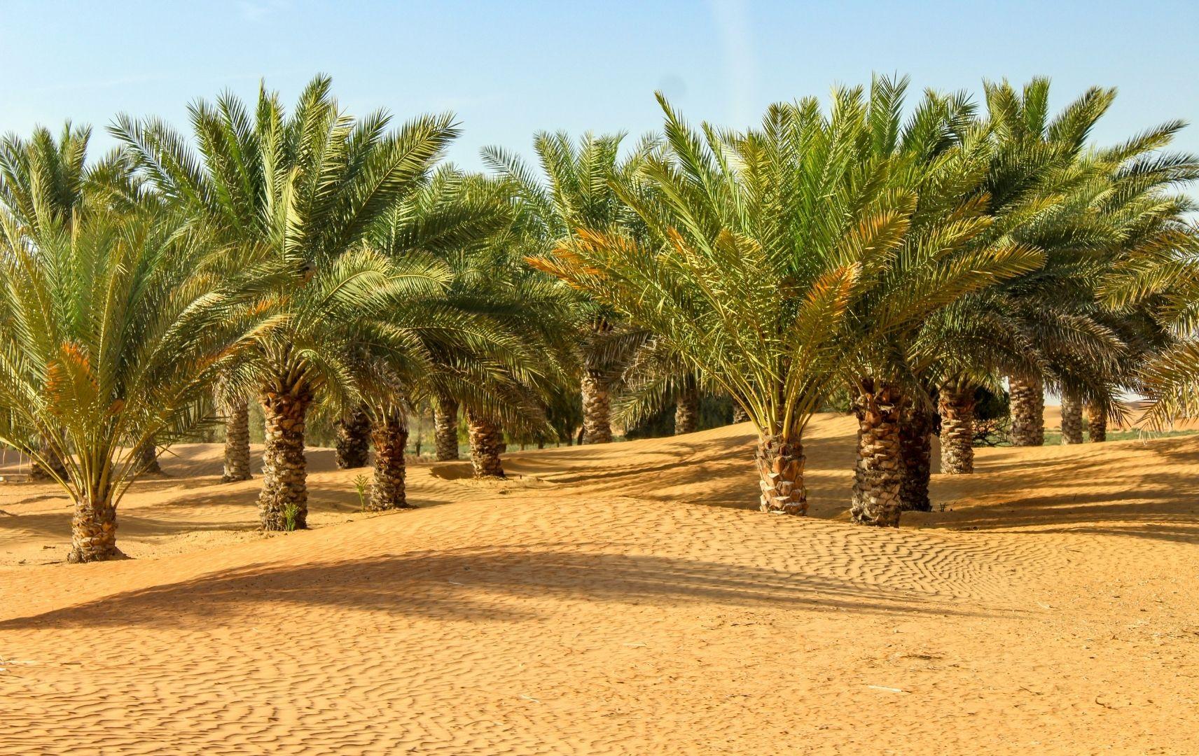 Palmen in Dubai