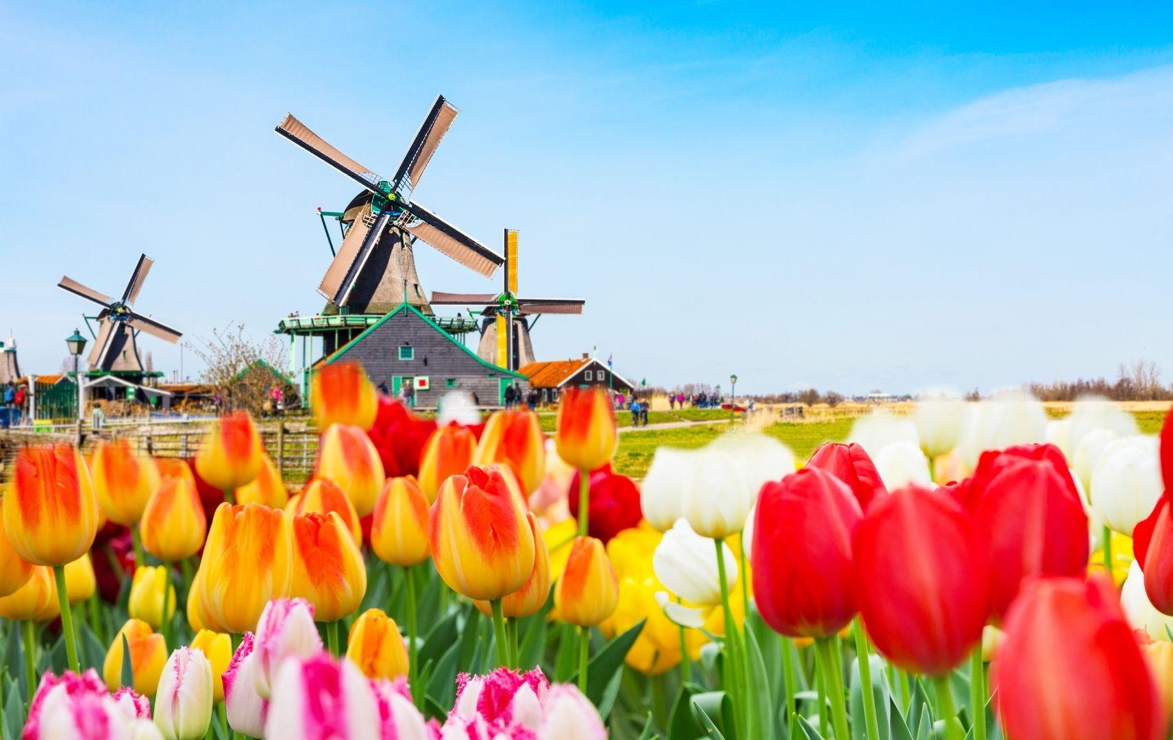 Tulpen und Mühle in Holland