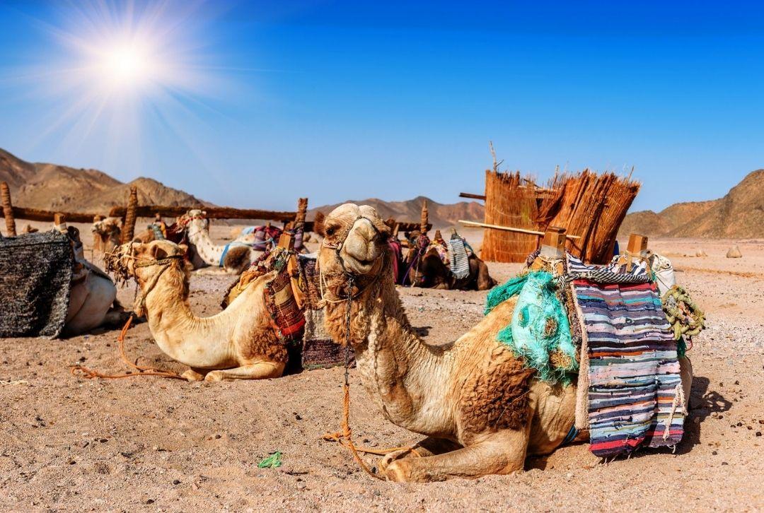 Kamele Wüste Dubai