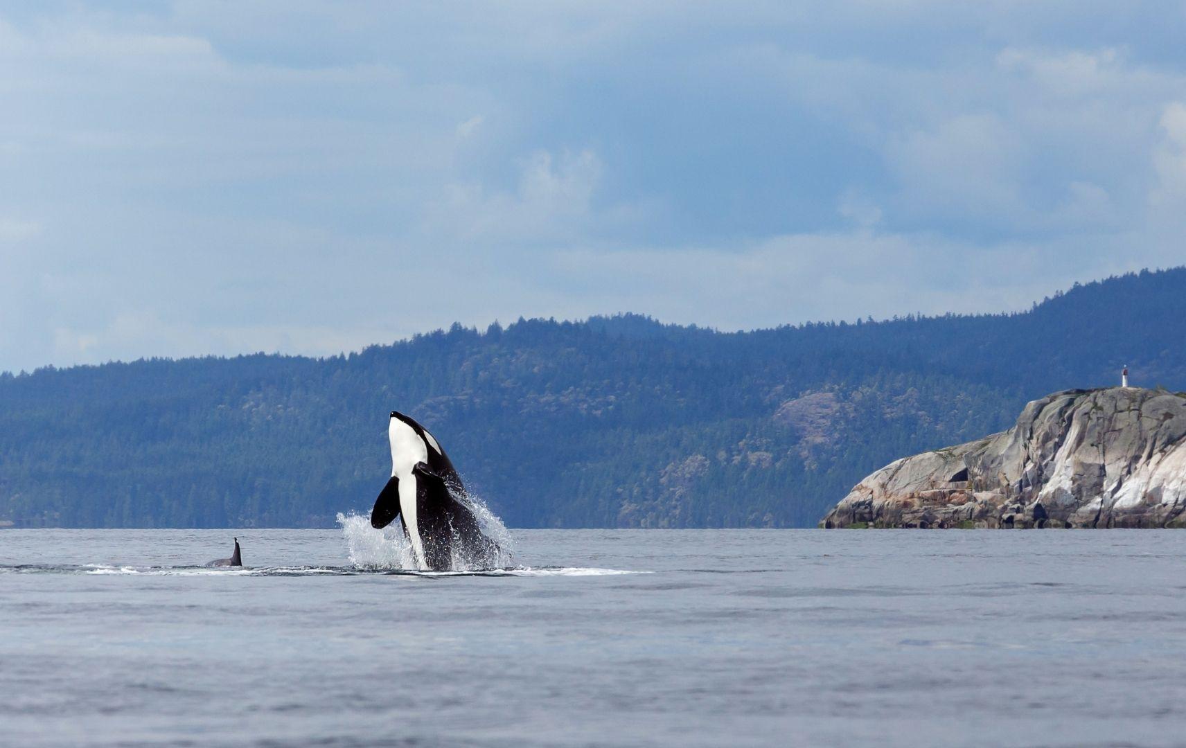 Reiseziel Südamerika - Orka Wal