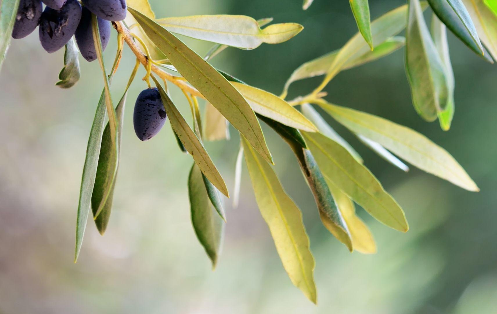 Olivenbaum - Blatt mit Olive