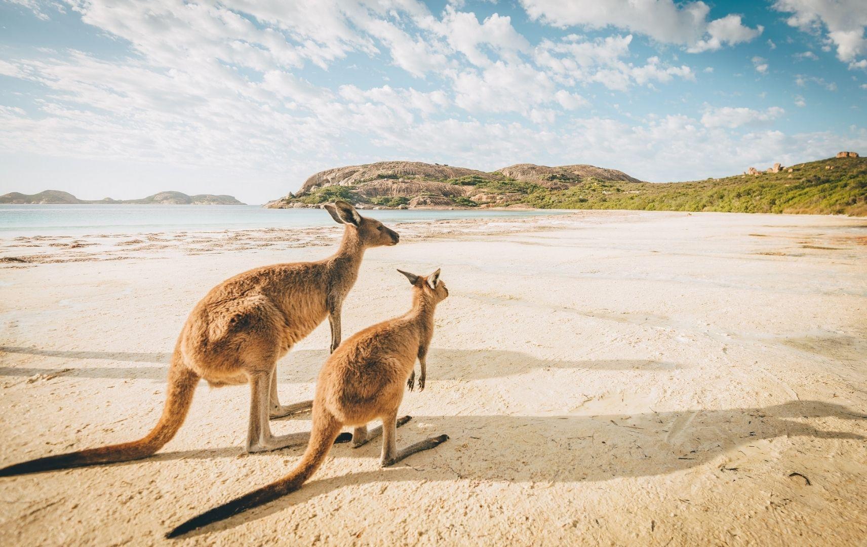 Fernreise Australien - Kangoroo