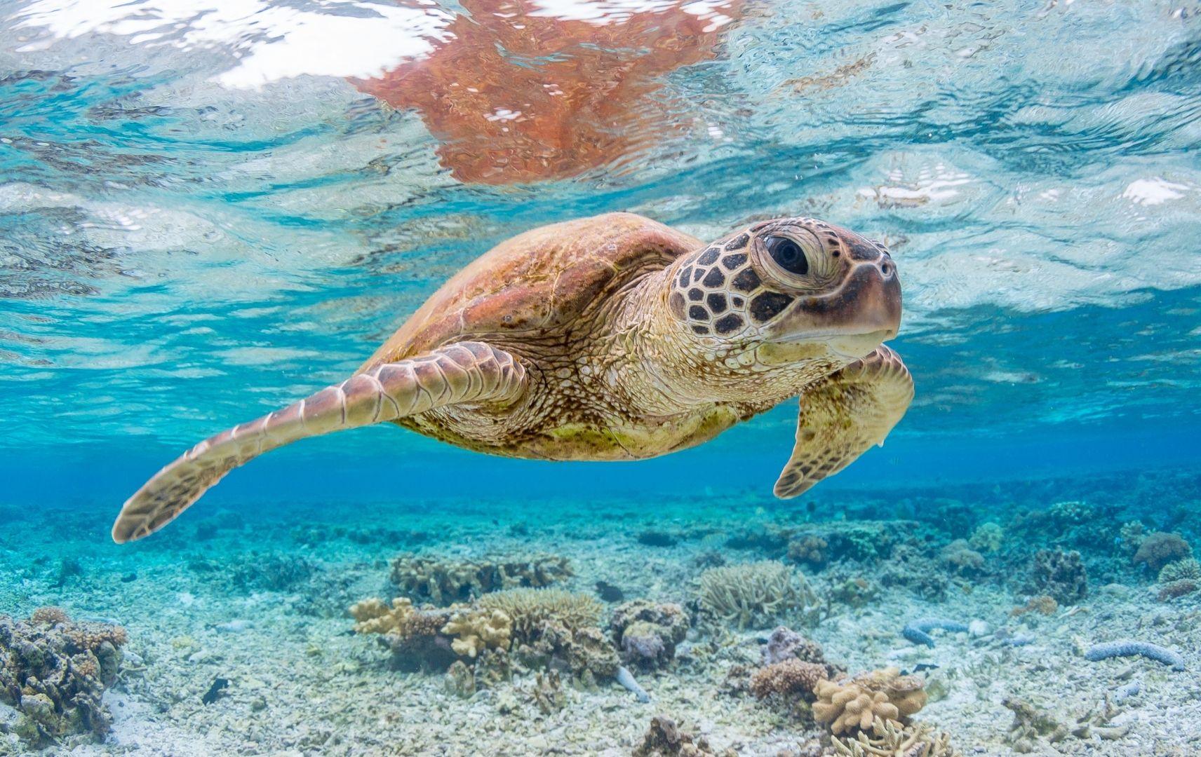 Fernreise Australien - Great Barrier Rief Schildkröte