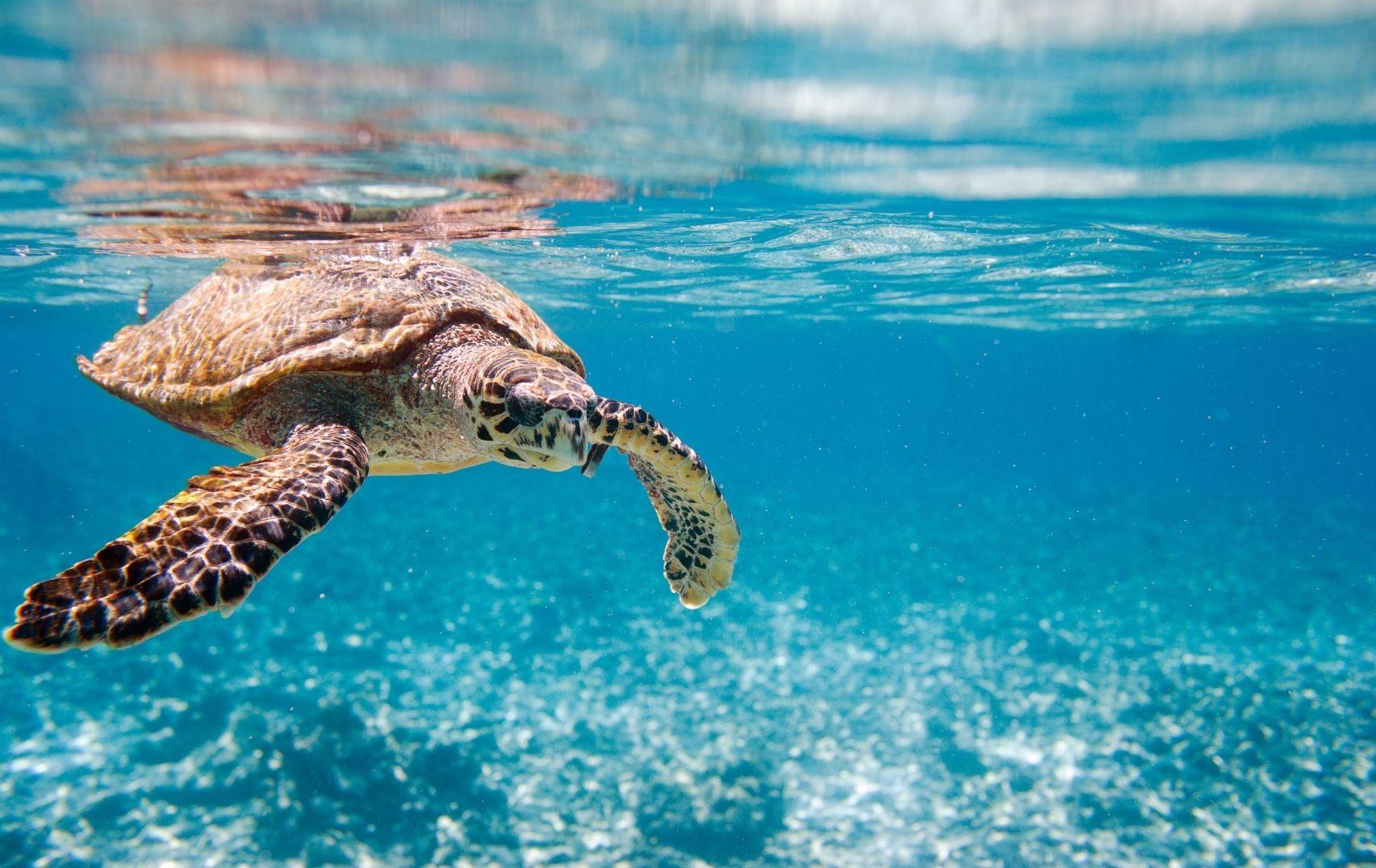 Hawksbill Wasser Schildkröte