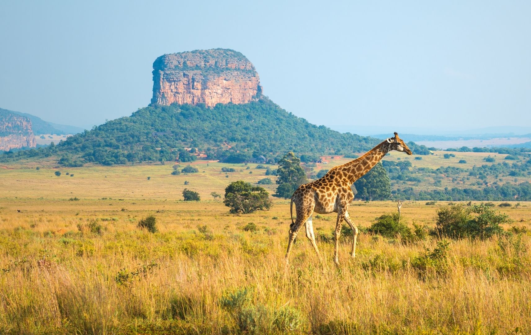 Giraffe Südafrika
