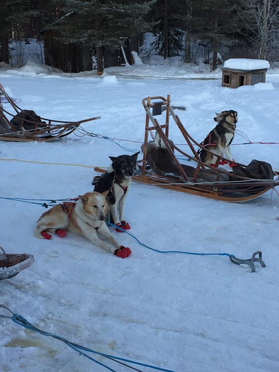 Husky Schlittenhunde in Lapland