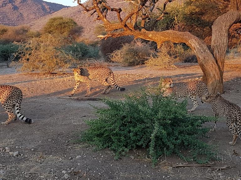 Jaguare in Namibia