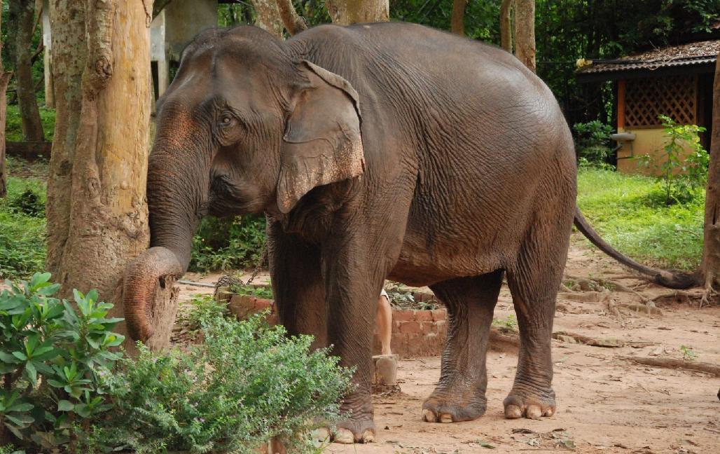 Elefant in Laos