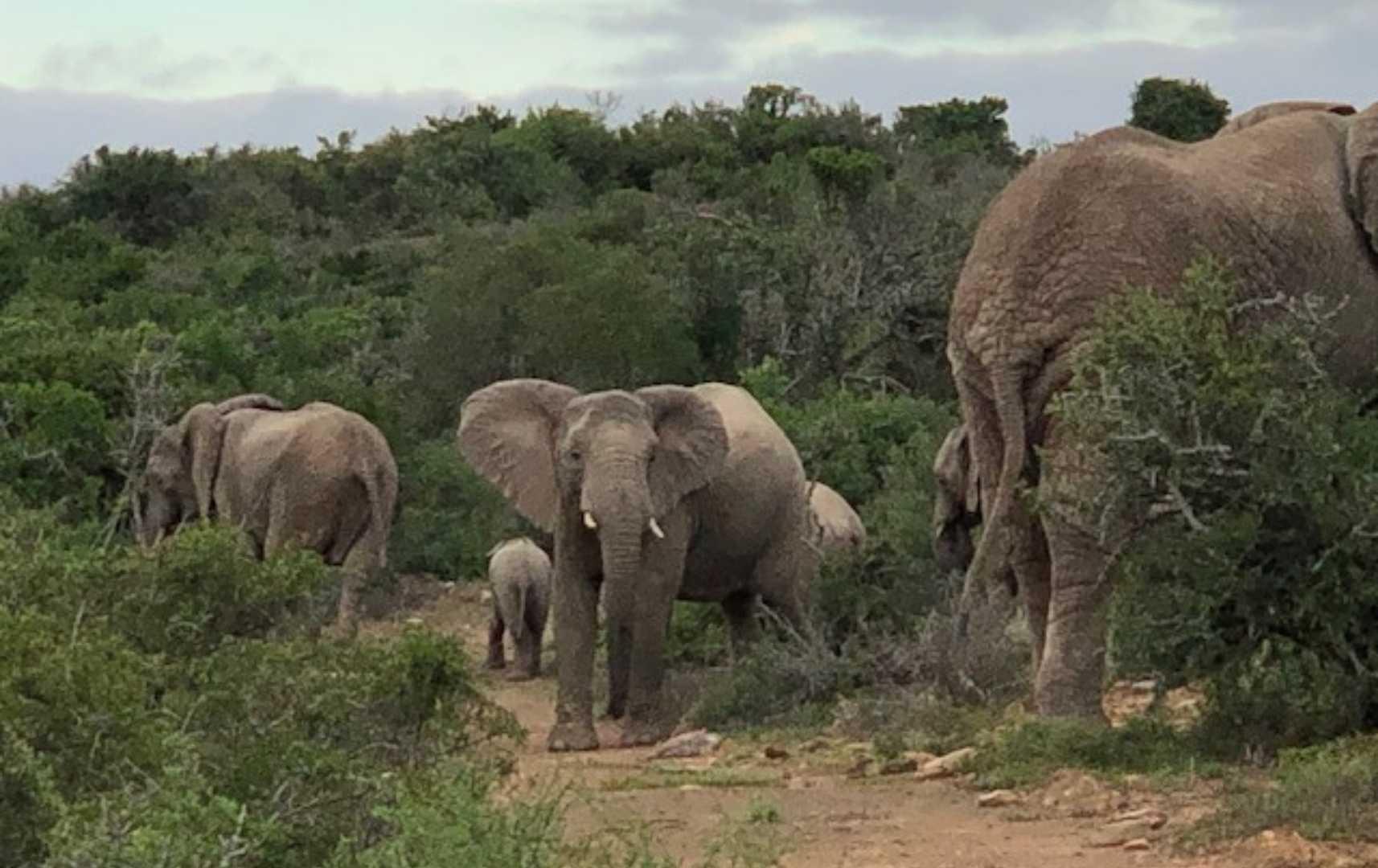 Elefanten bei der Pirschfahrt-Südafrika