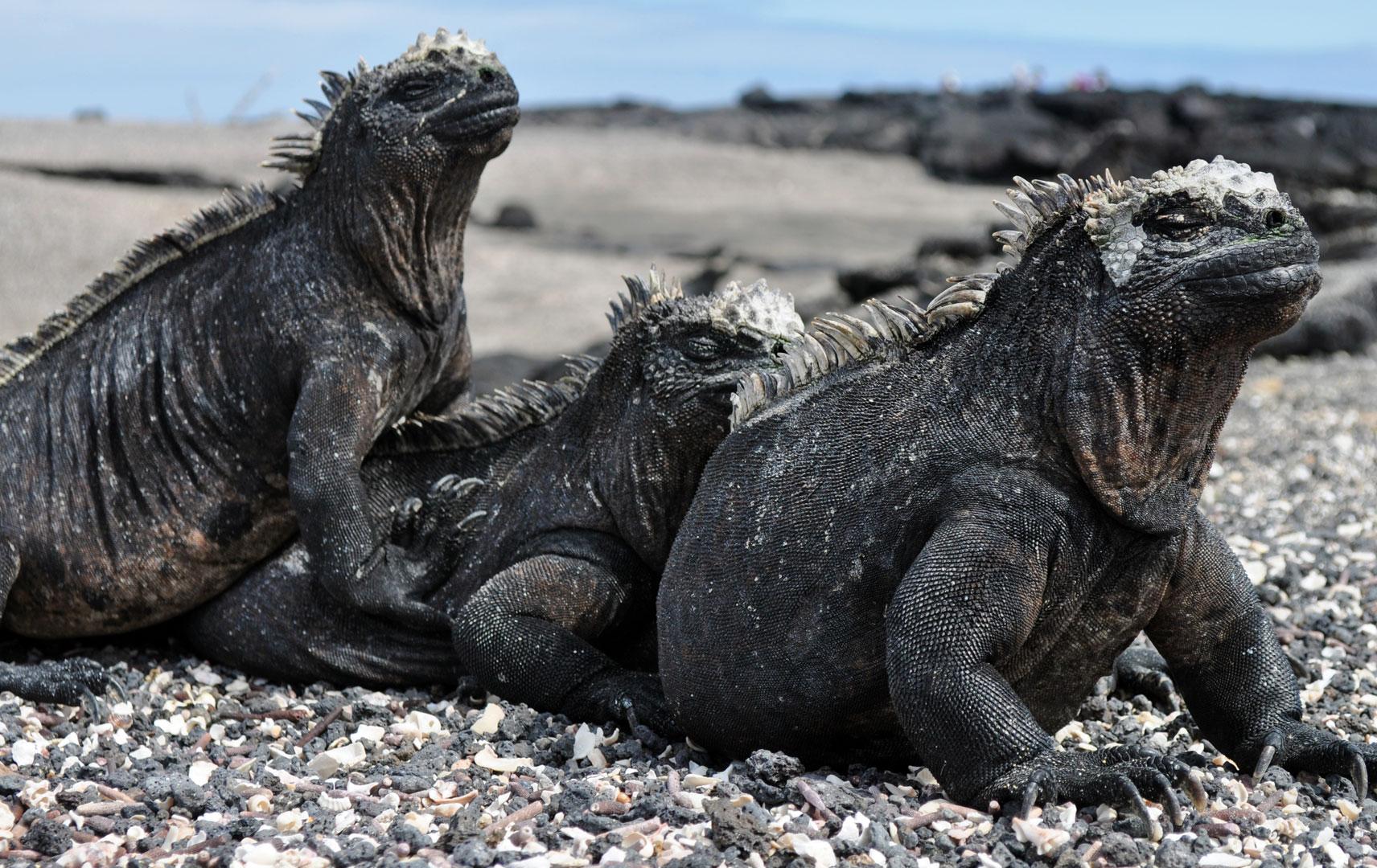 Marine Iguana Meeresechsen auf Galapgos