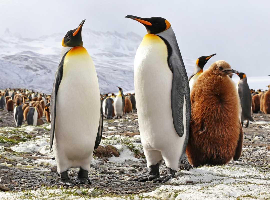 Fortuna Bay: Pinguin-Paar mit Baby Pinguin