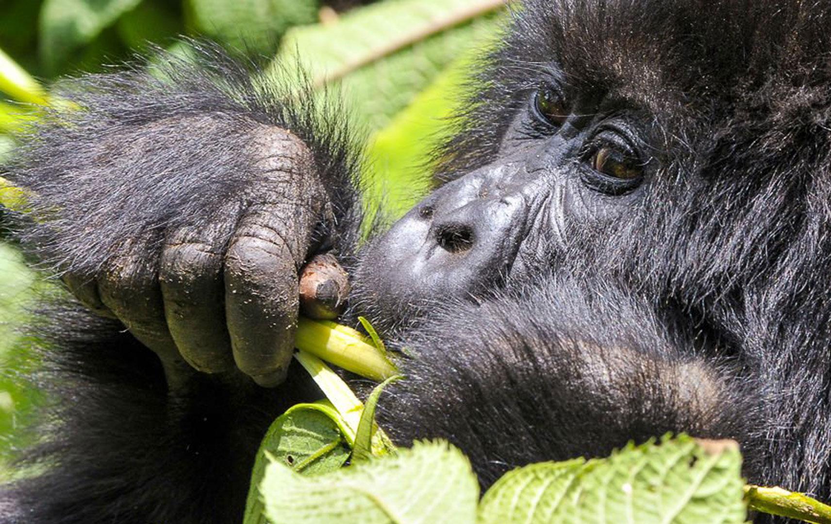 Nahaufnahme eines Gorillas in Uganda