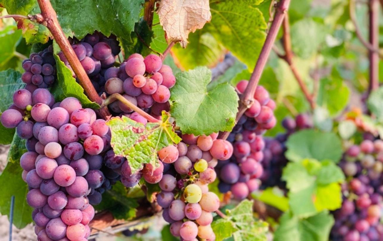 Weinreben in den Weinbergen