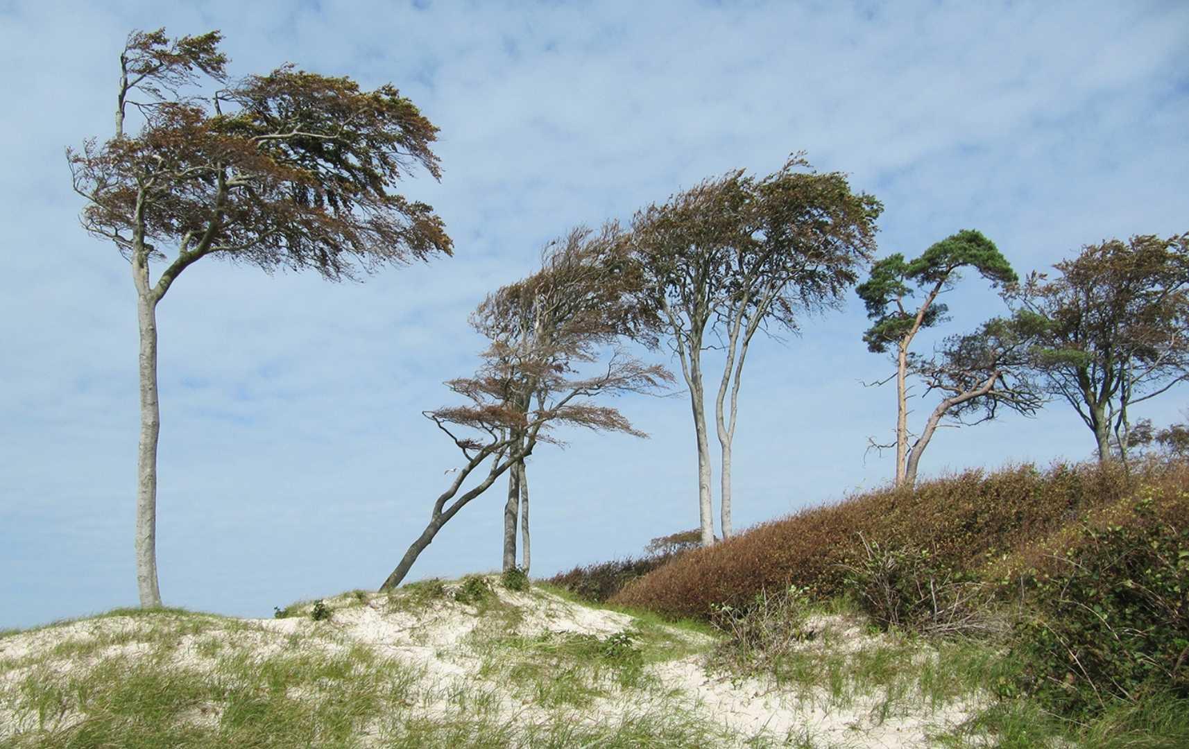 Windflüchter am Weststrand - Fischland
